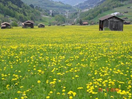 Loewenzahn_Klosters
