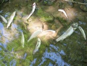 Tote Fische in einem Luzerner Gewässer, Foto: Fischereiverband Luzern