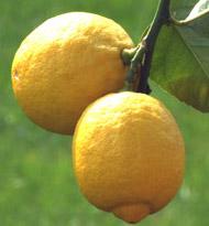 Zitronen_klein