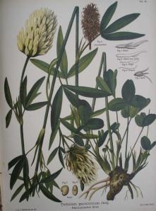 Trifolium_pannonicum_Jacq