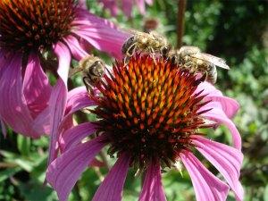 DSC02685Echinaceae_Bienen