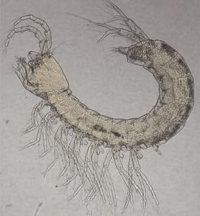 """Der Brunnenkrebs """"Parabathynella badenwuerttembergensis"""", ist ein sehr altes, urtümlich und skurril anmutendes Tier aus einer Zeit, die über 200 Millionen Jahre zurückliegt.  Foto A. Fuchs IGÖ"""