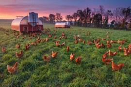 """Die mobilen Hühnerhäuser werden täglich verstellt. Daher """"düngen die Hühner die Wiese regelmässig. Gewässerschutzprobleme gibt es somit keine."""