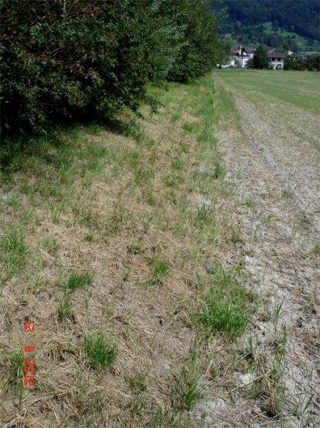 Foto 12.8.12: Abgeerntetes Getreidefeld am Mühlbach in Malans. Pufferstreifen zur Bachsohle 2 m.