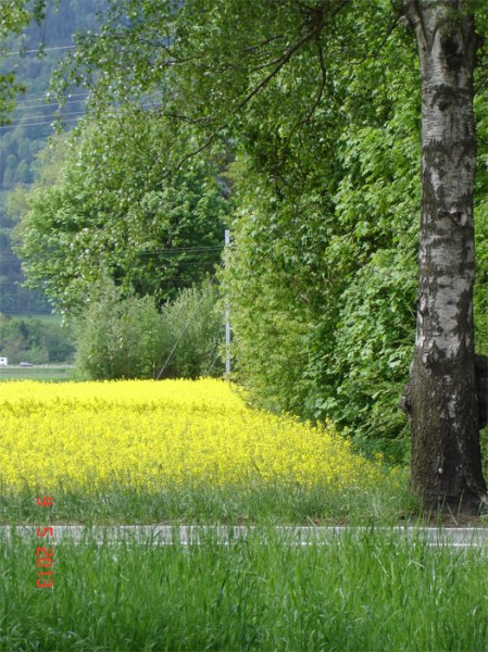 Das Gelb der Rapsblüten zieht Insekten und Spazierende an; es leuchtet im Acker genauso wie im Pufferstreifen an der Hecke, wo es nicht sein dürfte.