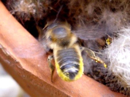 Jetzt fliegt eine Biene mit Pollen zum Nest ...