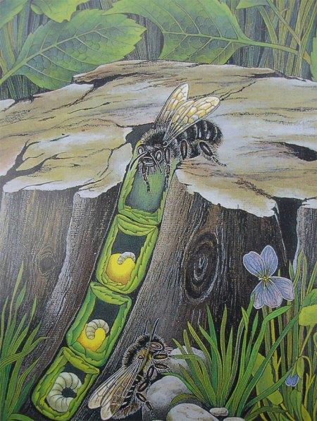 ... und so sehen Brutzellen der Blattschneiderbienen aus. Titelbild: Bienen, Hummeln, Wespen im Garten und in der Landschaft, Obst- und Gartenbauverlag München