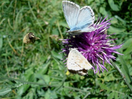 Bergwiese: Schmetterlinge umschwärmen die Flockenblume, eine Biene fliegt auf sie zu. Ein eindrückliches Stück Wiese zwischen Bäumen.