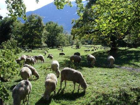 Am Heidiweg zwischen Heidibrunnen und -dörfli grasen jetzt viele Schafe. Die warme Herbstsonne hat am Sonntag Spaziergänger in grosser Zahl auf den Weg gelockt.