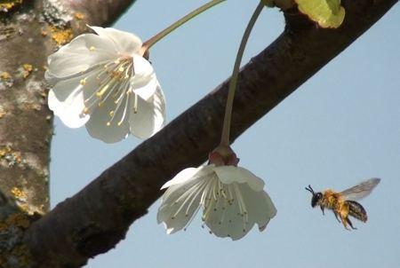 Eine Wildbiene fliegt auf eine Kirschblüte zu. Foto Christof Schüepp, Universität Bern