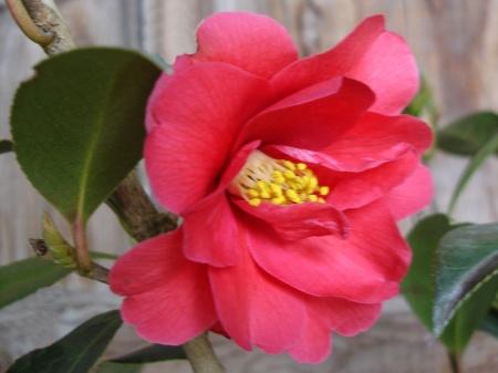"""Alternative zu """"gestohlenen"""" Rosen: Ein Besuch des Botanischen Gartens Gambarogno, wo am Valentinstag Winterkamelien blühen. http://www.parcobotanico.ch/fiori_de.htm"""