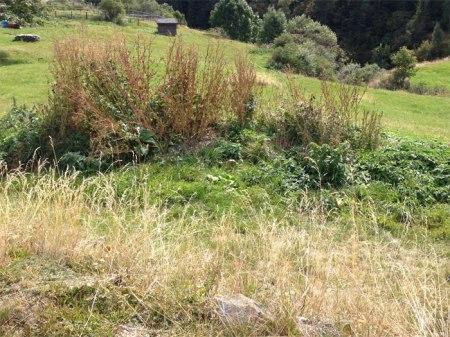 Schon sehr lange liegt dieser Bio-Knospe-Mist auf einer Tessiner Wiese, üppiges Pflanzenwachstum auf 1'500 m ü.M.