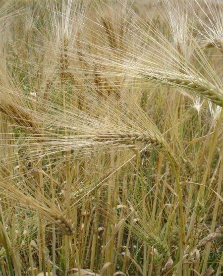 Das Insektizid Reldan 22 wird z.B. im Getreideanbau gegen das Getreidehähnchen eingesetzt. Es ist ein breit wirksames Insektizid. Einsatzgebiete: Kernobst- und Rebbau, Getreide, Raps, Gewächshauskulturen, Zierpflanzenanbau und gegen den Buchsbaumzünsler.