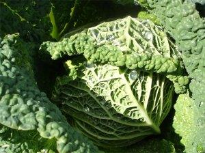 Vielseitig nutzbarer Wirz oder Wirsing: frisch als knackiger Salat, gekocht als Beilage, gefüllt oder im Eintopf.