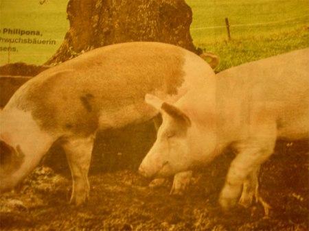 Die Grossverteiler zeigen uns Woche für Woche Bilder von paradiesischen Zuständen in der Fleischproduktion, während der Bund seinen Verpflichtungen zur Information über die Tatsachen nicht nachkommt. Foto Heidi: Coopzeitung vom 28.10.14.