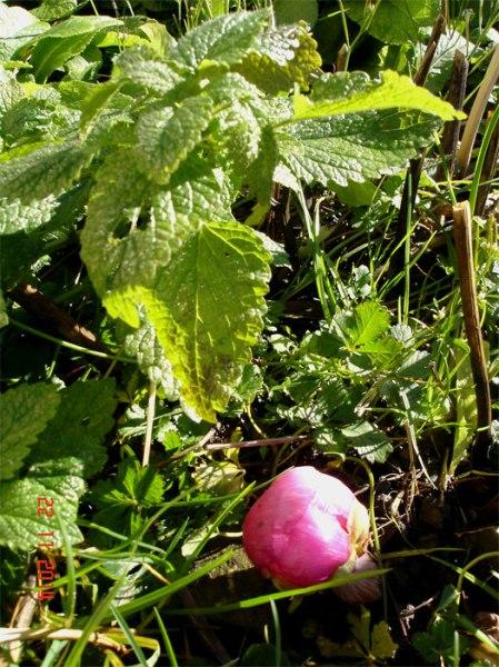 Es war kalt und jetzt sehr warm für die Jahreszeit; Prognose für heute Sonntag, 23.11.14: Chur 17°C. Die Pfingstrose (paeonia officinalis 'Mollis') wittert Frühling.
