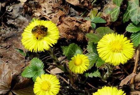 Frühlingsstimmung: mit Biene