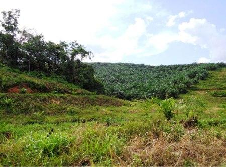 Neue Palmölpflanzung neben Kautschukpflanzung. Leserfoto.