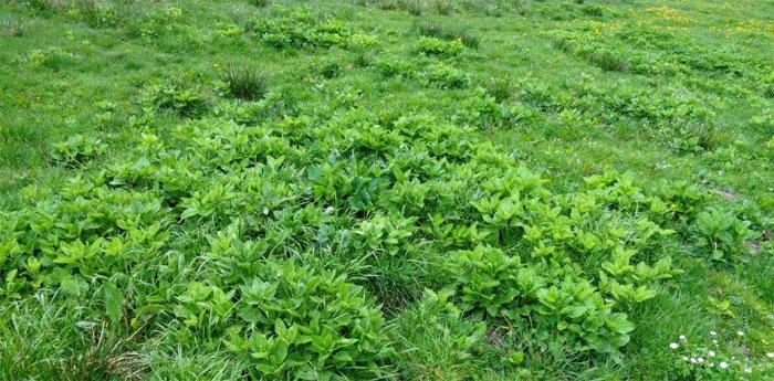 Das sehr giftige Alpenkreuzkraut muss konsequent eliminiert werden, z.B. Ausreissen oder Einzelstockbehandlung mit Herbizid. Auf keinen Fall darf es versamen. Copyright R.H.