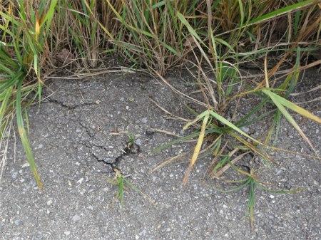 Am Veloweg Grynau bei Uznach wurde auf einer Seite (gegen die Wiese) kein Bankett angelegt; der Grund dafür ist nicht bekannt. Pflanzen durchbrechen den Belag und verursachen Risse...
