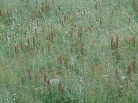 Grossflächig Blacken in der Wiese, echt Bio-Knospe-zertifiziert! Copyright: Seraina