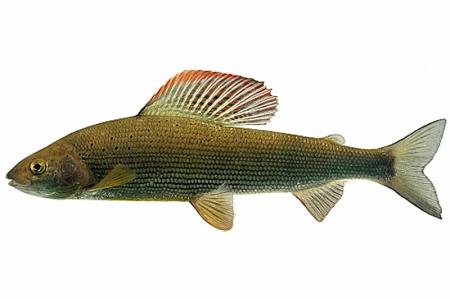 Die Äsche ist bedroht. Der Schweizerische Fischerei-Verband hat sie daher zum Fisch des Jahres 2016 erkoren. Bild: Rainer Kühnis