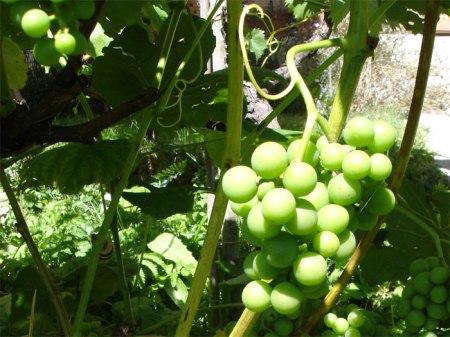 Für Tafeltrauben gilt ein Grenzwert von 0,2 mg/kg Bifenthrin (Pflanzenschutzmittel), für Keltertrauben ein Toleranzwert von 0,2 mg/kg. Wieso wohl? Heidi vermutet, dass der Unterschied deshalb besteht, weil man bei den Tafeltrauben die ganze Frucht ist und damit auch das Bifenthrin auf der Haut. Beim Keltern hingegen dürfte vermutlich ein Teil des Bifenthrins im Trester zurückbleiben; es gelangt also nicht in den Traubensaft bzw. Wein. In Deutschland und Österreich sind keine Pflanzenschutzmittel mit diesem Wirkstoff zugelassen, in der Schweiz ist ein einziges (Talstar SC) erlaubt.