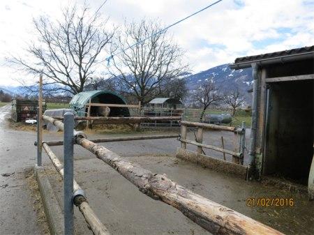 Auf der Mistplatte hält der Bauer Jungvieh.