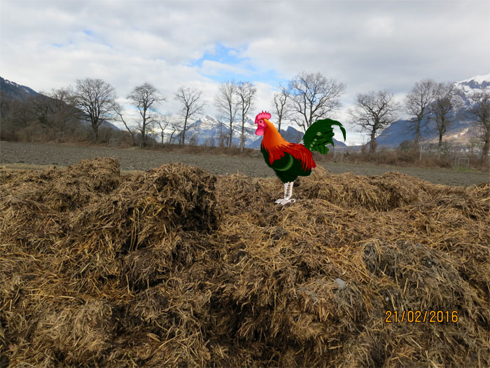 Illegal in der Rohan-Schanze gelagerter Mist mit Hahn, liegt jetzt zwei Monate ungedeckt über dem Grundwasser, bleibt vermutlich noch mindestens einen Monat dort. Fotomontage Heidi.