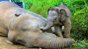 Ein Elefantenkalb betrauert seine vergiftete Mutter. Copyright: picture alliance/dpa.