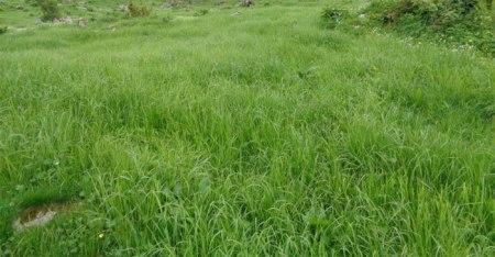 Auf dieser Alpweide wurde ein selektives Herbizid gespritzt: Nur Gräser überleben. Copyright Ruedi A.
