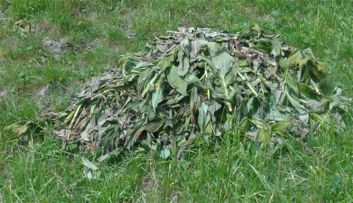 Die Älpler mähen den Weissen Germer und sammeln das Pflanzenmaterial ein. Copyright Sandro L.