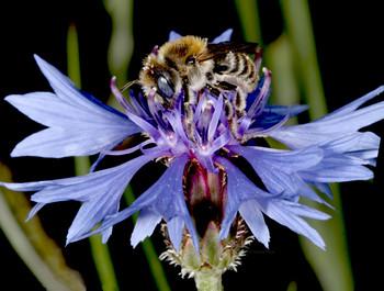 Die Mohnbiene (Hoplitis papaveris) beim Blütenbesuch auf Kornblume. Diese Einsiedlerbiene ist in Deutschland stark im Bestand gefährdet und eine typische Bienenart der Agrarlandschaft. | Bildquelle: Rainer Prosi, Crailsheim