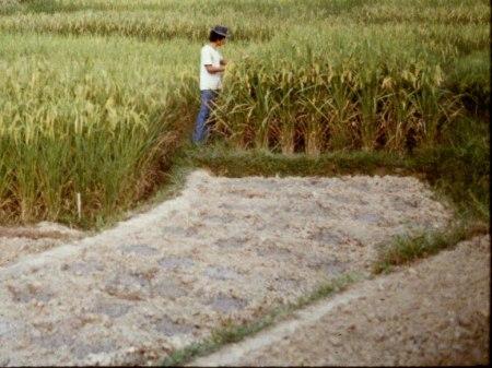 Versuche der Stiftung Yayasan Sehat in Sanggau Kapuas mit lokalen Reissorten. Diese Sorten wurden aber damals von der Regierung nicht unterstützt. Die Bauern erhielten nur für Hochertragssorten Kredite. Auf den sauren Böden wuchsen jedoch die vom Internationalen Reisforschungsinstitut (IRRI) gezüchteten Sorten nicht oder nur mit hohem Dünger- und Pestizid-Einsatz. Copyright: Astrid.