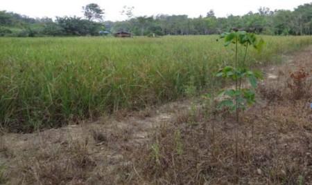 Projekt: Nassreis mit Be- und Entwässerung. Typisch für das neue Jahrhundert: Die Feldränder sind mit Herbiziden behandelt.