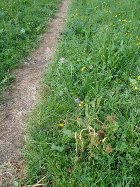 Mit Herbizid behandelter Weg auf der Alp zum Blumentod ... mit Herbizid-Einsatz auf Blacke. Copyright: Sophie T.