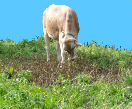 Ein Rind frisst Brennnesseln, die erst kürzlich mit Herbizid bespritzt worden waren. Copyright: Sophie T.