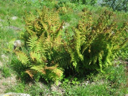 Die unteren Farnteile sind grün. Bei diesen Pflanzen ist die Wirkung besonders schlecht. Die aktuelle Bekämpfung kann das Wachstum nur verlangsamen, nicht aber die Pflanzen eliminieren!