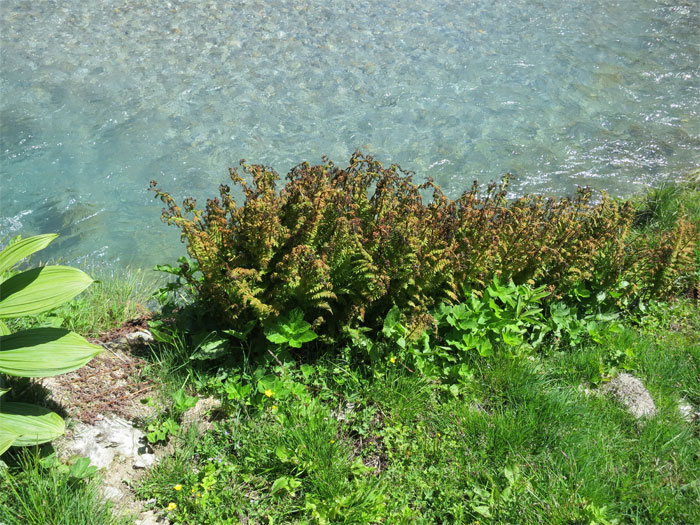 Dürre Farne direkt am Wasser. Was bedeutet das?