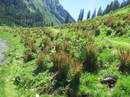 """Links und rechts des Wander-/Bikewegs zur Alp Novai braune Farnpflanzen. Bekämpfung mit Herbizid. Damit die neuen begehrten Alpungsbeiträge nicht gekürzt werden, müssen die """"Unkräuter"""" bekämpft werden."""