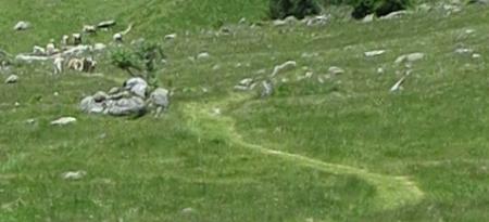 Kühe auf dem Weg zur Alp Pardenn. Ein kleiner Ausschnitt aus einem grossen Bild, daher unscharf.