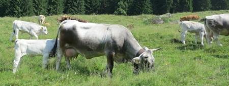 Mastkälber dürfen schon im Alter von 121 Tagen auf Schlachtviehmärkten verkauft werden.