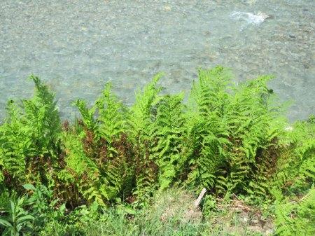 """Die gleichen Farne direkt am Bach: Dreizehn Tagen später sind sie schon wieder grün, wachsen üppig weiter! Der Herbizid-Einsatz ist nicht nachhaltig, """"nur"""" eine Umweltverschmutzung."""