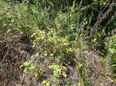 Herbizid auf Himbeeren.