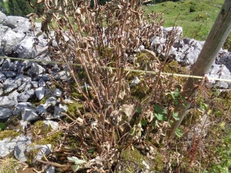 Herbizid wurde auf Trockenmauer gespritzt.