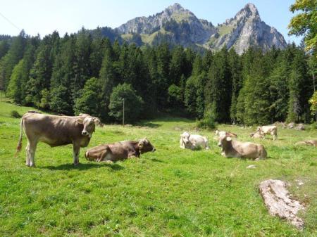 Trächtige Rinder auf der mit Herbizid behandelten Weide.