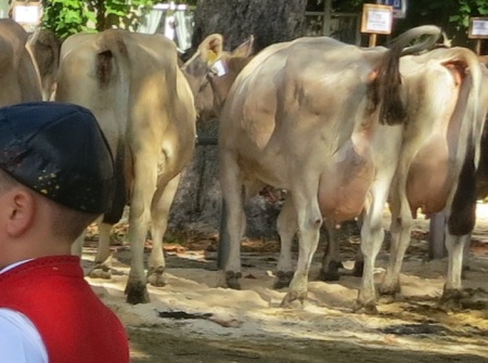 """Übervolle Euter an Viehschauen? """"Einzelfälle"""", hiess es bisher. Forschungsresultate zeigen, dass dem nicht so ist."""