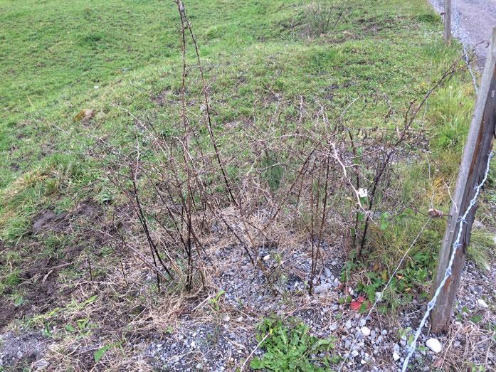 ... Und dann die Herbizide! Wildrosen wurden gespritzt, wo ich doch Hagebutten für den Winter sammle. Aber das ist erlaubt: Einzelstockbehandlung ...