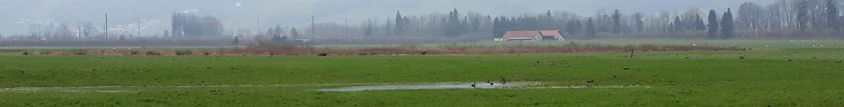 Viele Wasservögel auch nach zwei Tagen noch auf den nassen Wiesen. Für Vergrösserung auf Bild klicken. Copyright: Stefan.