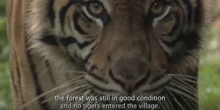 Bevor PT Arara Abadi kam, war der Wald in guten Zustand und keine Tiger drangen in das Dorf ein. Copyright: Greenpeace Indonesia.